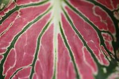 As folhas cor-de-rosa coloridas do fundo do exotica do bastão mudo modelam a folha cor-de-rosa abstrata do Dieffenbachia Textured Fotos de Stock Royalty Free