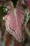 As folhas cor-de-rosa coloridas do fundo do exotica do bastão mudo modelam a folha cor-de-rosa abstrata do Dieffenbachia Textured Imagem de Stock Royalty Free