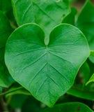As folhas coração-dadas forma Fotografia de Stock Royalty Free
