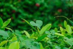 As folhas coração-dadas forma Imagens de Stock
