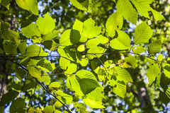 As folhas da árvore foto de stock royalty free