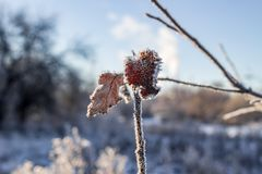As folhas da árvore coberta com a geada em uma manhã fria foto de stock
