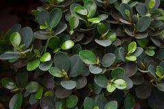 As folhas da árvore do elastica do ficus fecham-se acima imagens de stock royalty free