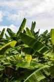 As folhas da banana em tailandês. Imagens de Stock
