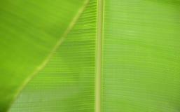 As folhas da banana fecham-se acima da imagem, com gotas da chuva Fotografia de Stock
