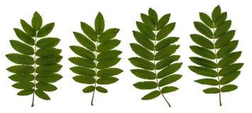 As folhas da cinza de montanha, cinza vermelha, aucuparia do Sorbus, o grupo de Rowan de folhas, folhas do composto, folhas em um fotografia de stock royalty free