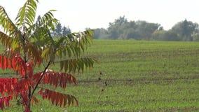 As folhas da cor vermelha da árvore do outono e as colheitas do inverno da grão na agricultura colocam 4K vídeos de arquivo