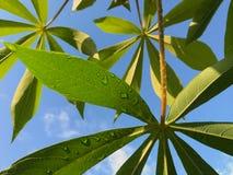As folhas da mandioca Imagens de Stock Royalty Free