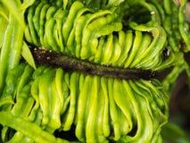 As folhas da palma de sagu começam a florescer Imagem de Stock