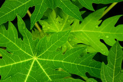 As folhas da papaia, verde saem do fundo Foto de Stock