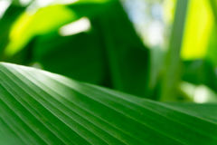 As folhas da planta de banana verde Imagem de Stock Royalty Free