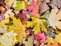 As folhas da queda de Autumn Maple e do carvalho fecham-se acima em Forest Floor em Rose Canyon Yellow Fork e na fuga grande da r Foto de Stock