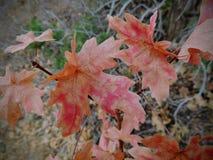 As folhas da queda de Autumn Maple e do carvalho fecham-se acima na floresta em Rose Canyon Yellow Fork Trail em montanhas de Oqu Foto de Stock Royalty Free