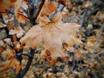 As folhas da queda de Autumn Maple e do carvalho fecham-se acima na floresta em Rose Canyon Yellow Fork Trail em montanhas de Oqu Fotografia de Stock