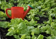 As folhas da salada Foto de Stock Royalty Free