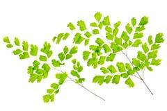 as folhas da samambaia de maidenhair são isoladas no branco imagem de stock