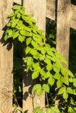 As folhas da videira virgem em uma cerca. Imagens de Stock Royalty Free