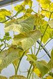As folhas danificadas de urticae de Tetranychus do ácaro de aranha do pepino Fotos de Stock Royalty Free
