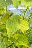 As folhas danificadas de urticae de Tetranychus do ácaro de aranha do pepino Fotos de Stock