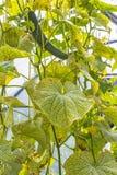 As folhas danificadas do ácaro de aranha do pepino & do x28; Urticae de Tetranychus Imagens de Stock Royalty Free