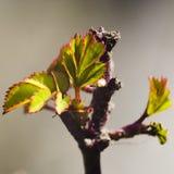 As folhas das liberações do arbusto cor-de-rosa na mola Foto de Stock