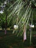 As folhas de árvores sempre-verdes após a chuva com gotas da água na agulha deram forma às folhas imagem de stock royalty free