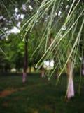 As folhas de árvores sempre-verdes após a chuva com gotas da água na agulha deram forma às folhas fotografia de stock
