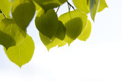 As folhas de Aspen fecham-se acima Fotografia de Stock