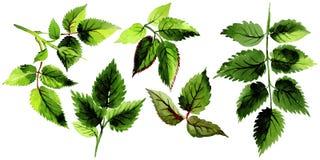 As folhas de aumentaram em um estilo da aquarela isoladas Imagem de Stock