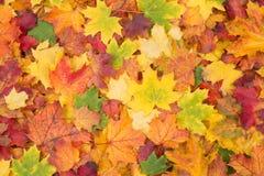 As folhas de bordo alaranjadas, vermelhas, amarelas e verdes caem fundo fotografia de stock royalty free