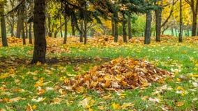 As folhas de bordo amarelas caídas outono recolheram em uma pilha sob uma árvore Fotos de Stock
