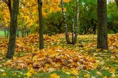 As folhas de bordo amarelas caídas outono recolheram em uma pilha sob uma árvore Foto de Stock