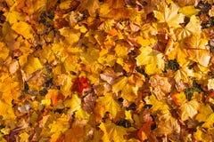 As folhas de bordo amarelas e alaranjadas bonitas do outono atapetam o teste padrão Fotos de Stock