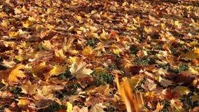 As folhas de bordo brilhantes do outono caem para baixo e cobrem a terra