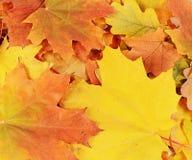 As folhas de bordo do outono fecham-se acima Imagem de Stock Royalty Free