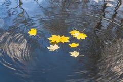 As folhas de bordo e os círculos amarelos brilhantes estão na superfície da água da lagoa com a reflexão de árvores pretas e de u imagens de stock