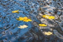 As folhas de bordo e os círculos amarelos brilhantes estão na superfície da água da lagoa com a reflexão de árvores pretas e de u fotografia de stock