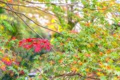 As folhas de bordo nas árvores estão girando para o vermelho Imagem de Stock