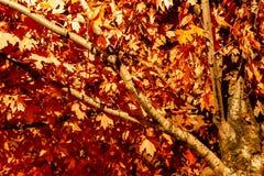 As folhas de bordo que mudam a cor no parque irlandês, Toronto Ontário, podem fotografia de stock royalty free
