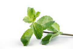 As folhas de hortelã fresca são enormemente populares para o chá e sucos e saladas frescos Fotografia de Stock Royalty Free