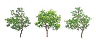 As folhas de Neem são um arbusto são bonitas Fotos de Stock Royalty Free