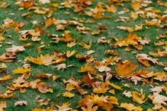 As folhas de outono brilhantes amarelas na grama verde podem ser usadas como o fundo Folha dourada durante o dia ensolarado Tempo fotos de stock