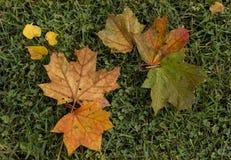As folhas de outono brilhantes caíram e encontram-se na grama verde imagem de stock