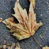 As folhas de outono desintegram-se enquanto caem ao crescidas das árvores fotos de stock