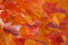 As folhas de outono do vermelho alaranjado e do amarelo ou aquecem cores da queda fotos de stock royalty free