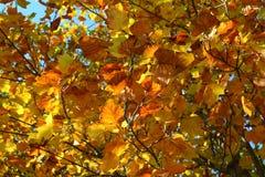 As folhas de outono em ramos do tha Imagens de Stock Royalty Free