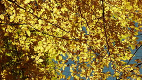 As folhas de outono fluem para baixo da árvore vídeos de arquivo