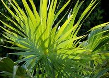 As folhas de palmeira tropicais entrelaçadas retroiluminadas encheram-se com a luz solar contra o fundo preto Imagem de Stock Royalty Free