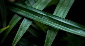 As folhas de Pandan são verde-clara Fotografia de Stock