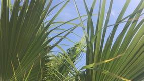 As folhas de uma palmeira de Califórnia balançam no vento contra o céu azul Dia ensolarado brilhante vídeos de arquivo